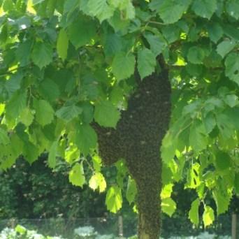 Een voorbeeld van een bijenzwerm in een boom
