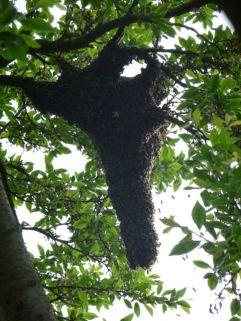 Bienenschwarm im Baum, Schwarmverhinderung fehlgeschlagen