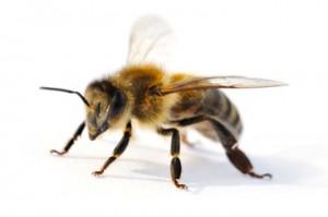 Arbeitsbiene, Biene, Honigbiene Aussehen