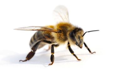 Biene, Bienen aussehen
