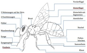 Biene Zeichnung, Körperbau Honigbiene, Aufbau Honigbiene