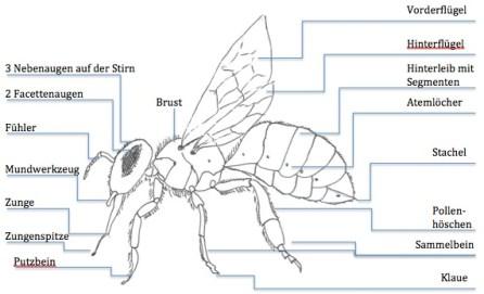 Biene anatomie beschriftet, Arbeitsbiene