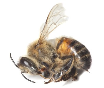 Bienenkrankheiten
