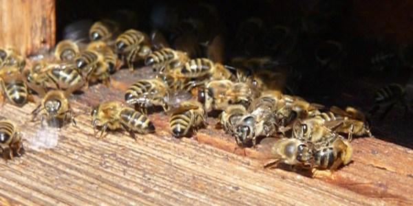 Bienen Das Wichtigste Uber Die Honigbiene