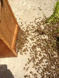 Wie Bienen kommunizieren. Bienen laufen ein.