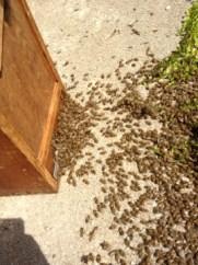 Bienenschwarm einlaufen lassen, Bienenschwarm am Boden