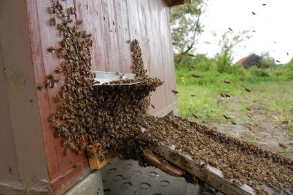 Bienenschwarm einschlagen. Bienenschwarm einlaufen lassen