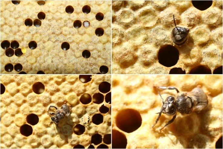 Bienenbrut, Bienenbrut vier Bilder