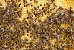 Bienenbrut