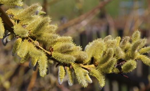 Drachenweide Zweig, Drachenweide Pollen