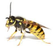 Wespe, Wespe vs Biene, Wespenstich, Bienenstich