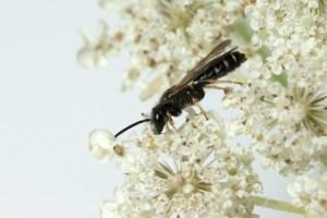 Wildbiene; Loecherbienen; Loecherbiene; Solitaerbiene; Wildbienen; Apoidea;