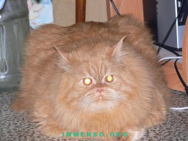 Gatti ciccioni 62 foto di gatti grassi da vedere
