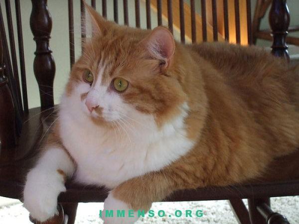 Gatti ciccioni 62 foto di gatti grassi da vedere assolutamente