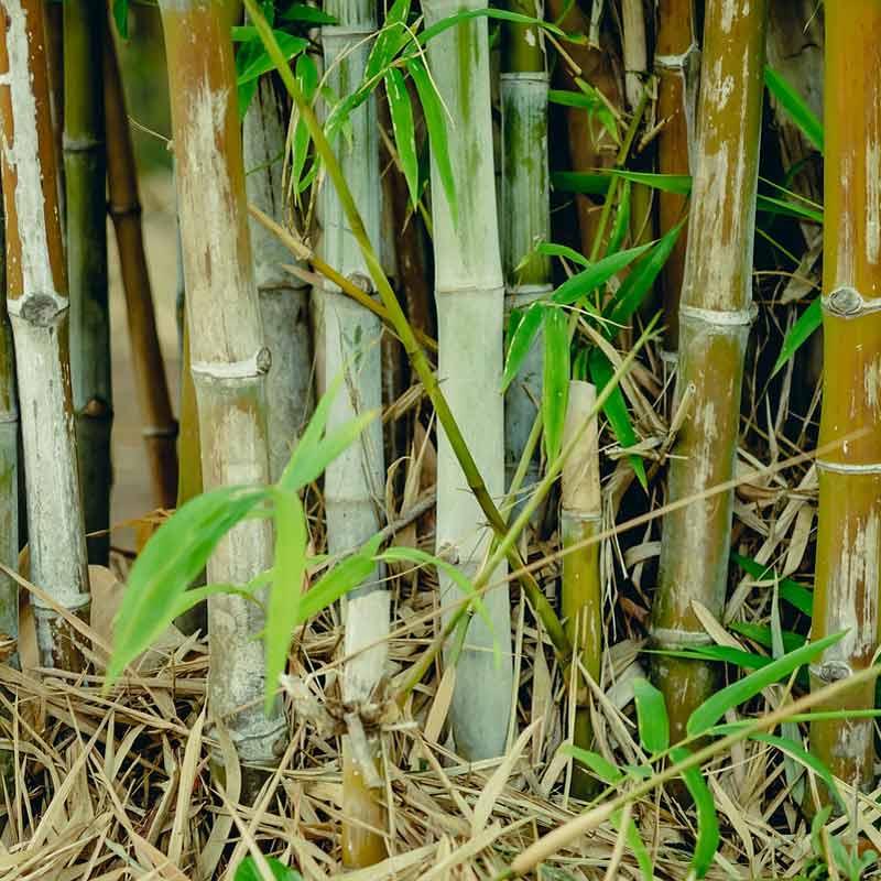 bambus der grune sichtschutz