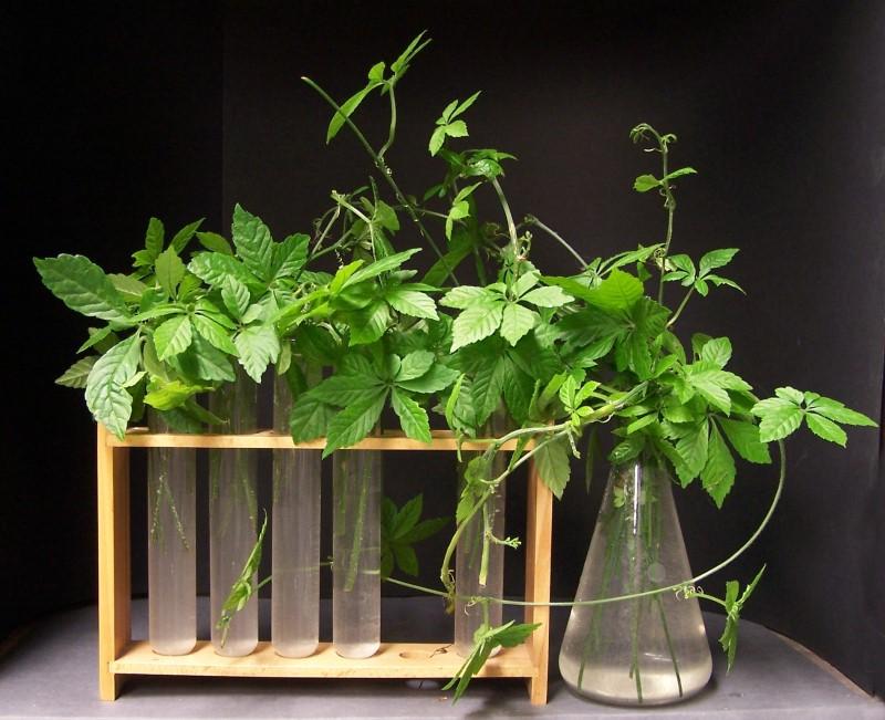 Jiaogulan - The Immortality Herb