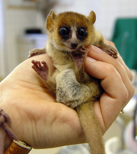 An Actual Mouse Lemur