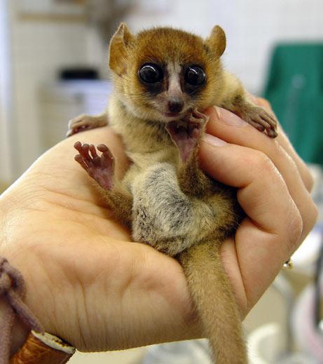 An Actual Mouse Lemur