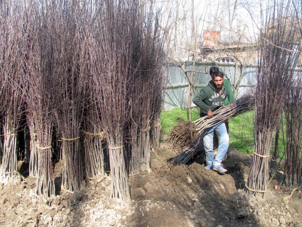 Farmers in south Kashmir are converting paddy land into orchards [image by: Athar Parvaiz]