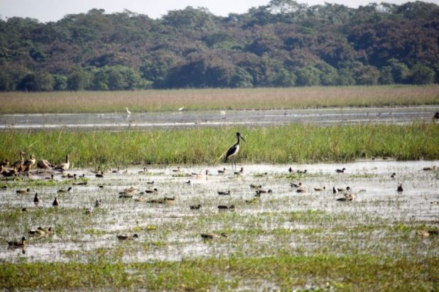 Migratory birds in Pobitora Wildlife Sanctuary