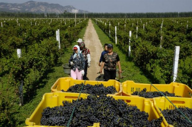 Chinese farmers pick grapes in a vineyard in Changli county, Hebei province [image by: Lou Linwei / Alamy Stock Photo]