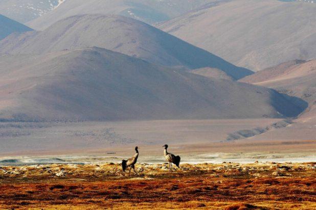 A pair of Black-necked Crane at Tsokar-Changthang in Ladakh [image by: Narinder Patil]