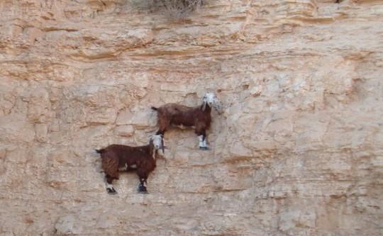 Goats-in-precarious-positions-03-634x475 (Custom)
