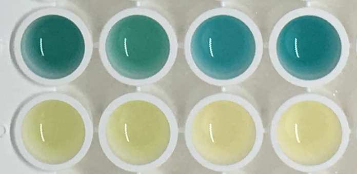 Photo of urine samples - the blue ones from the tumour-bearing mice, and the normal colour urine from the healthy mice.