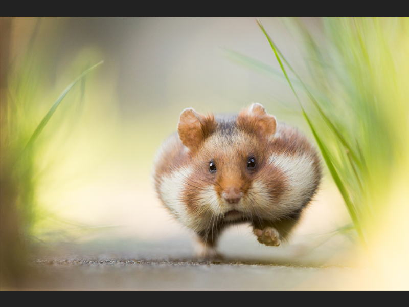 Hurry up, hamster!