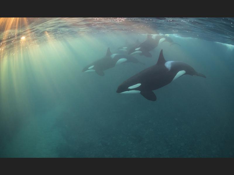 Orca Pod - Most Promising British Underwater Photographer 2017