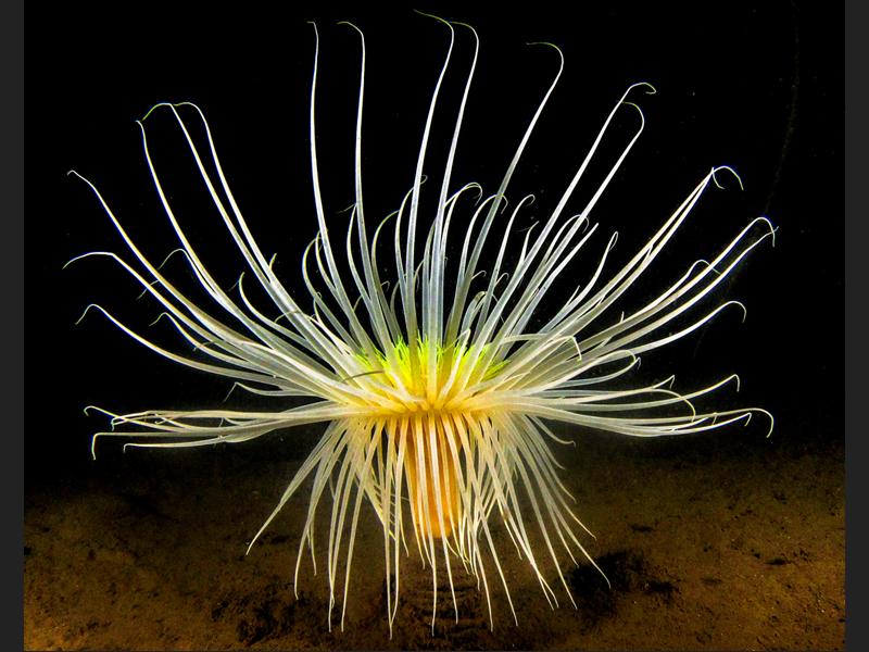 Scottish Fireworks Anemone - Winner category British Waters Compact