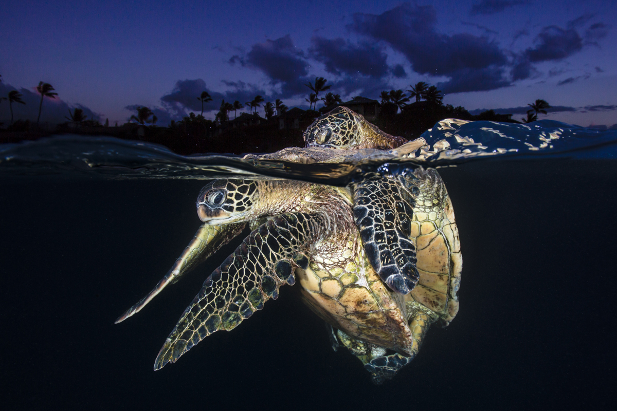 Honu Love At Dusk