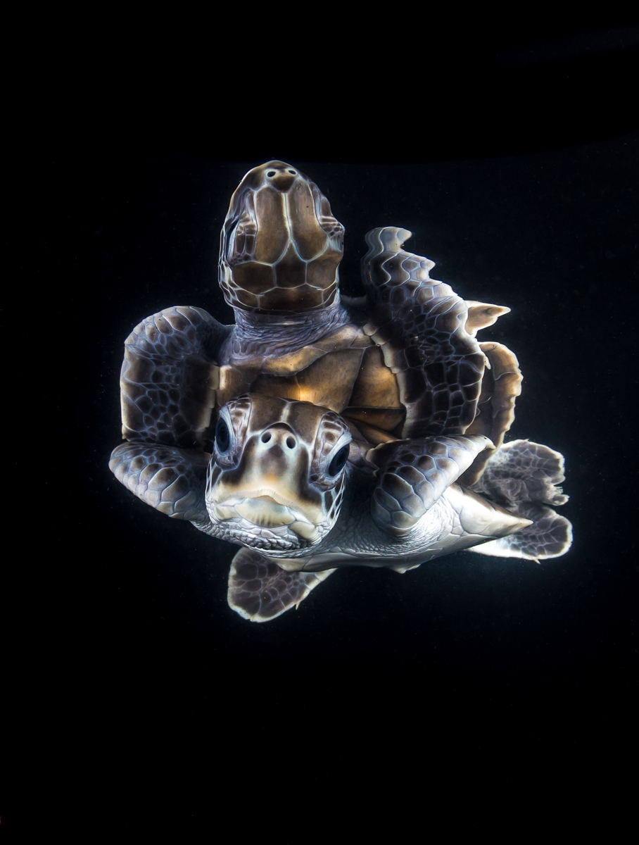 A reflective green turtle hatchling
