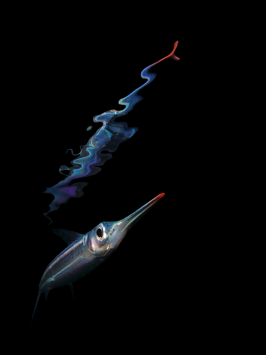 Night reflection of a juvenile garfish
