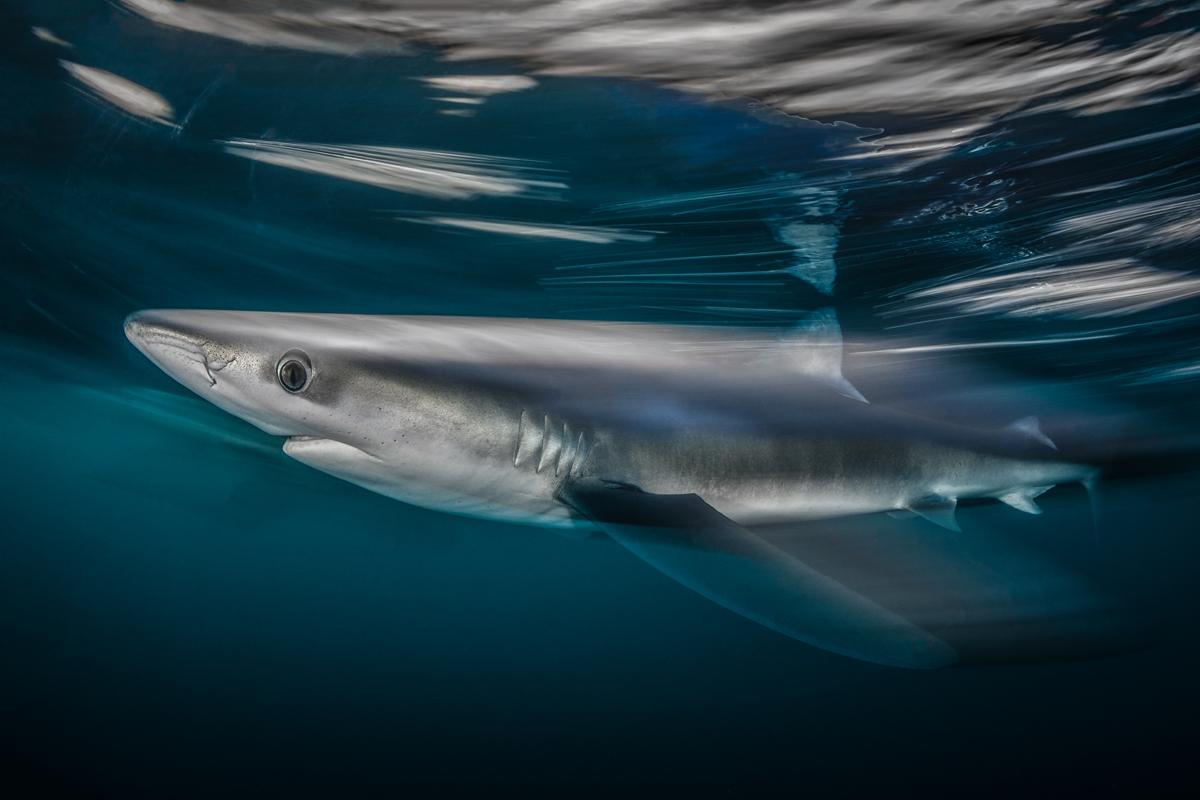 Shark Speed