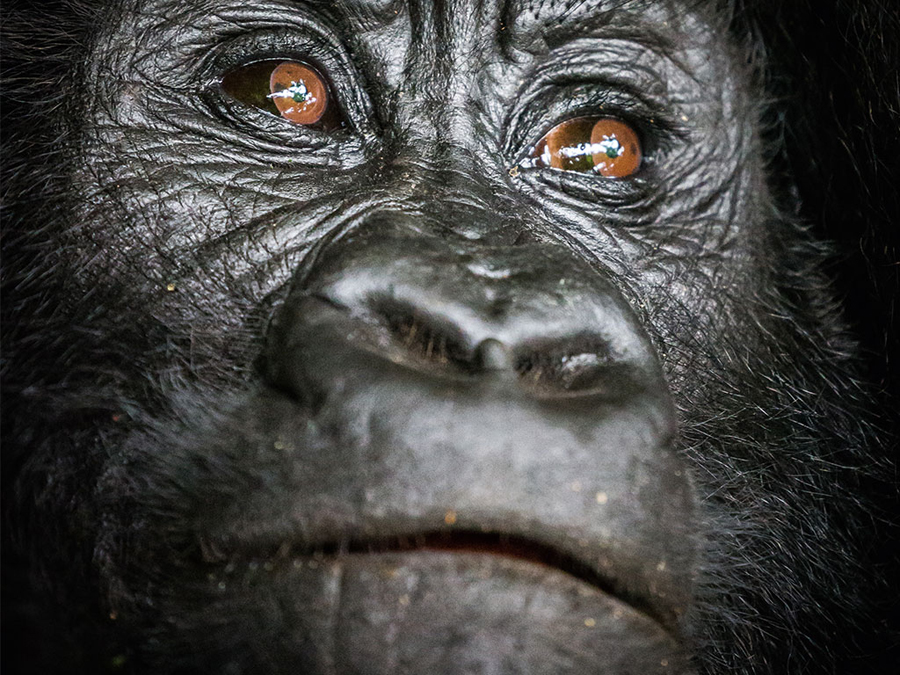 Gorilla  di montagna / © Scott Ramsay