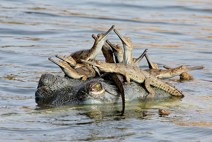 Young wildlife photographer of the year 2013 Winner: Mother's Little Headful by Udayan Rao Pawar (India)