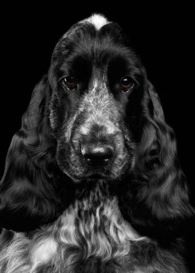 Cocker Spaniel dog