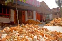 Corn is drying