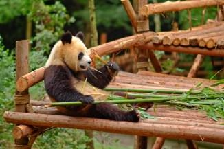 Laid back Panda
