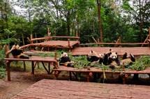 Panda Bachelors