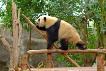 Tightrope Panda Walker