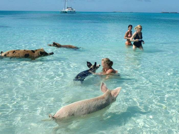 Swimming Pigs of The Bahamas - Where is Pig Beach in the