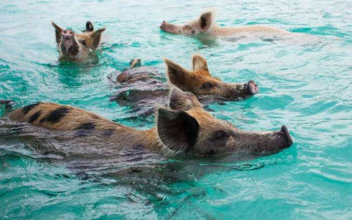 Swimming with Pigs in The Bahamas