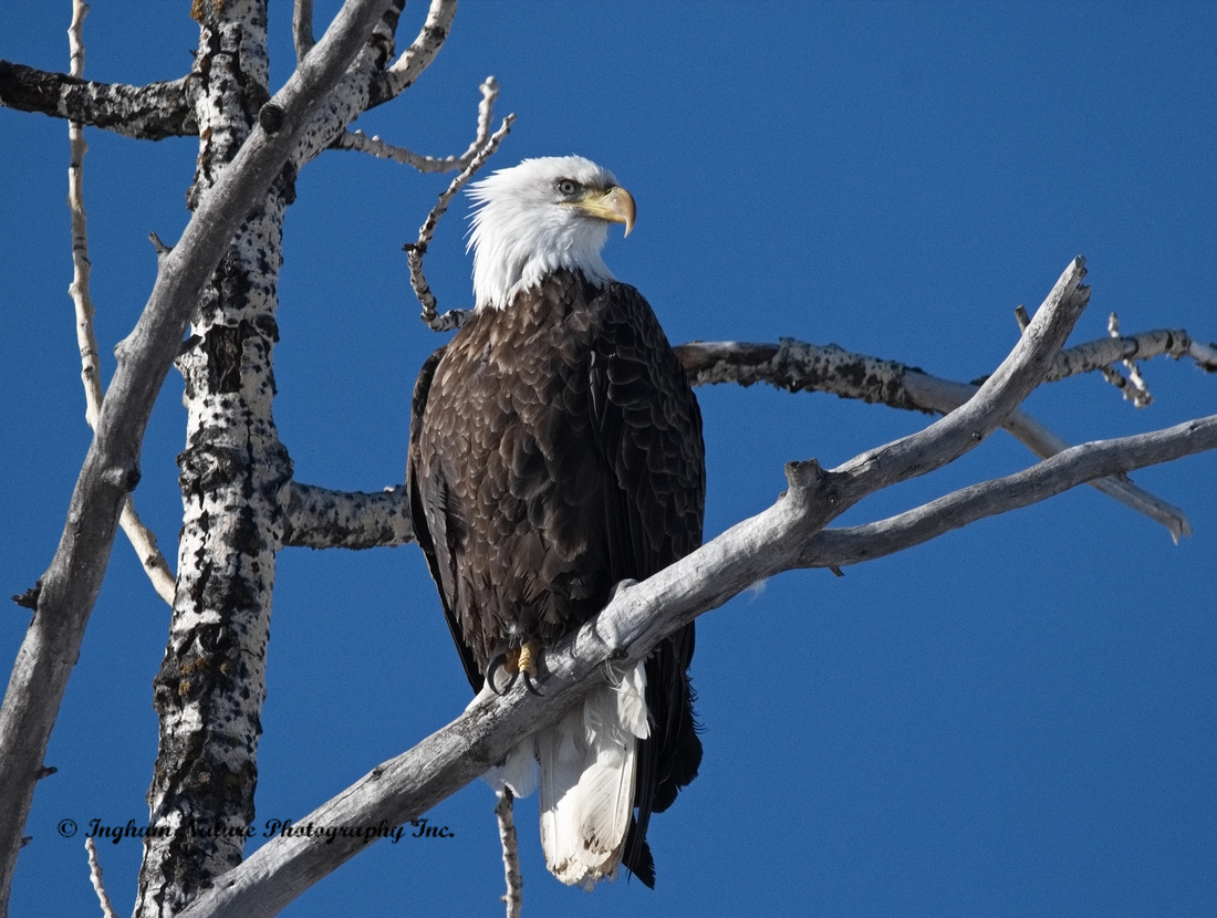 Eagle No 3