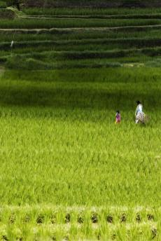 ricefields-in-bali-2
