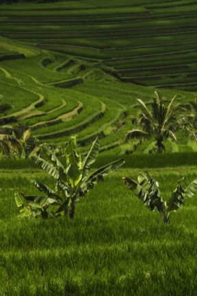 ricefields-in-bali-6