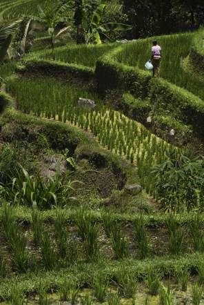 ricefields-in-bali-7