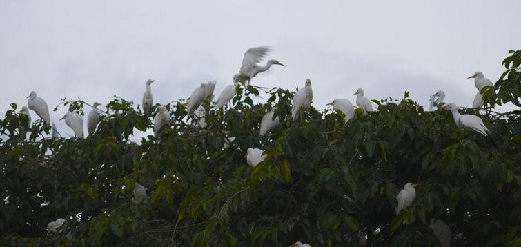 A flock of Heron in Petulu village