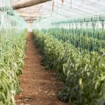 North American Cannabis Producer Expands to Europe